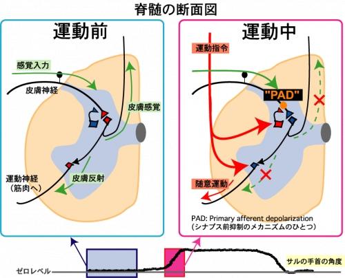 015.シナプス前抑制の機能的意義を解明 | 日本生理学会: http://physiology.jp/science-topic/5907/